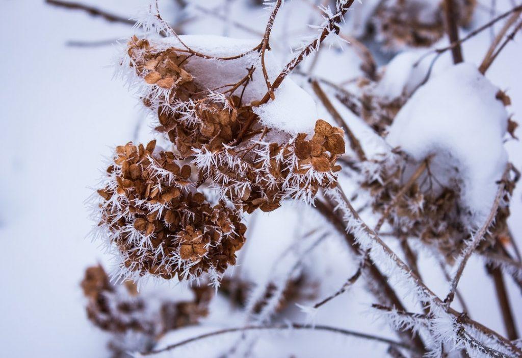 hydrangea-winter-prep